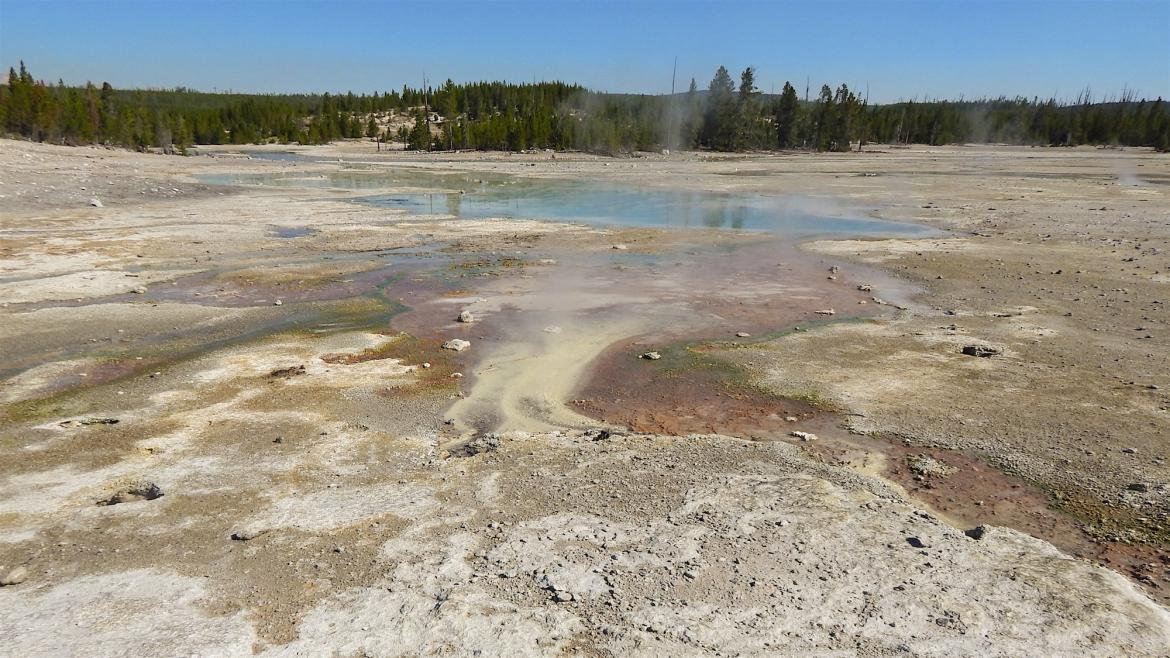 Why does a Yellowstone microorganism prefer meager rations over rich ones?